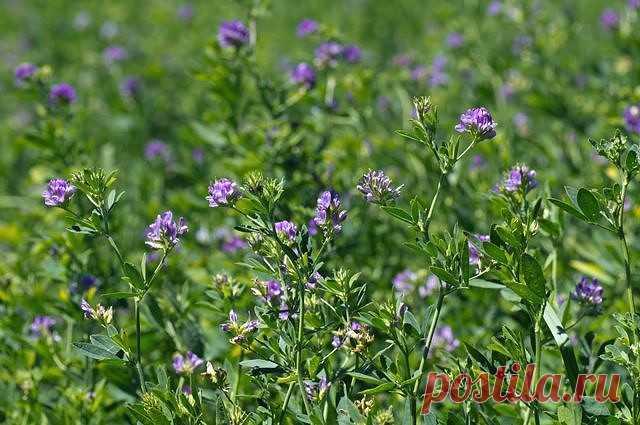 Люцерна: очищает печень и кровь, улучшает обмен веществ и не только!  Люцерна посевная - это многолетнее травянистое растение, имеющие кустистый стебель, густо облиственный. Листья у люцерны очередные, тройчатые с продолговато-клиновидными листочками. Цветки мелкие лимонно-желтые, собраны по 20-30шт. в головчатые кисти.  Люцерна широко известна, как кормовая культура, и выращивают ее, разумеется, в основном, на корм животным. Но, также известно, что люцерну можно и весьма ...