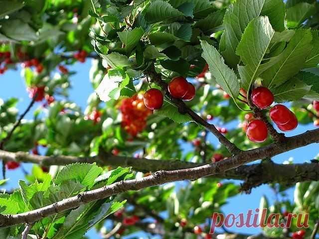 Можно ли спилить ветки соседского дерева, если они растут над вашим участком? | Журнал