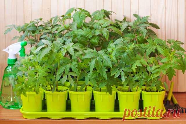 Как вырастить крепкую рассаду – 5 простых правил | Рассада (Огород.ru)