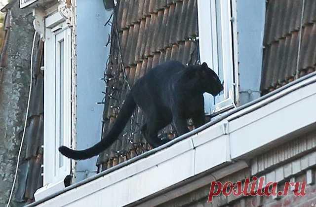 Жители Армантьера около часа со страхом наблюдали за пантерой, которая выбралась из открытого окна квартиры и гуляла по уступу крыши