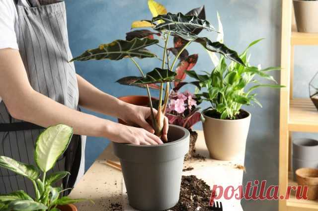 Можно ли пересаживать комнатные растения осенью? Особенности осенней пересадки. Фото — Ботаничка.ru