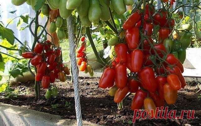 Уникальная подкормка для созревания помидоров! Первое и самое важное: томаты необходимо подкармливать через каждые две недели с момента посадки и до середины августа. Рецепты подкормок для томатов, растущих в открытом грунте