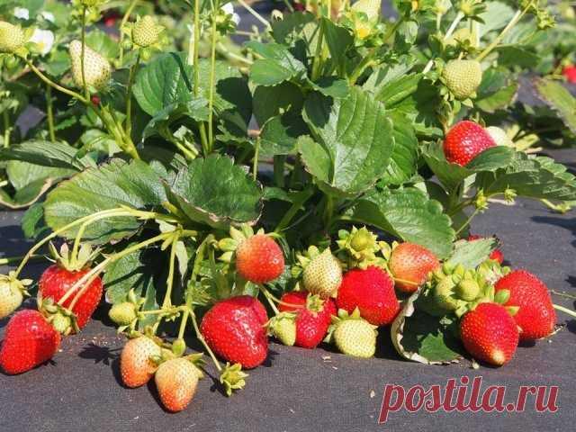 Секреты при выращивании садовой земляники / Домоседы