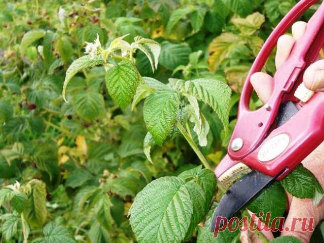 As it is correct to cut off raspberry in the spring, in the summer and in the fall   Malines, blackberry (Огород.ru)