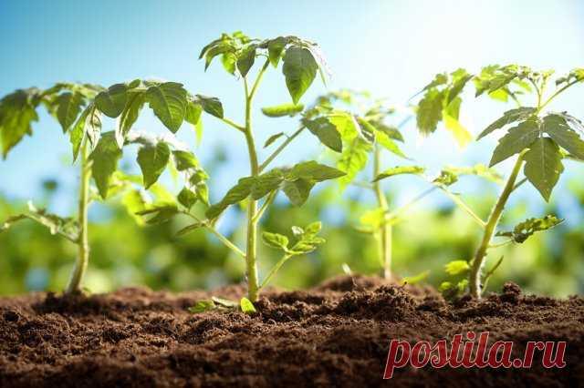 Почему семена томатов нужно покупать уже зимой и как рассчитать, сколько пакетиков вам нужно   Томаты (Огород.ru)
