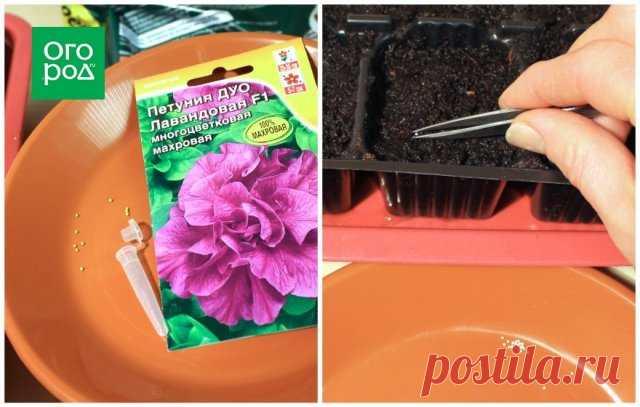 Как вырастить рассаду петунии дома – пошаговый мастер-класс с фото | Летники (Огород.ru)