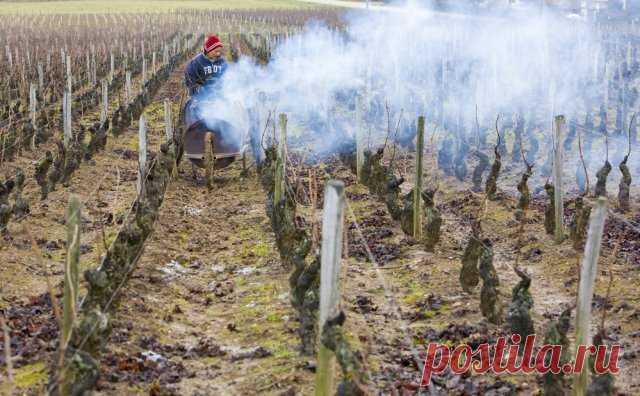 7 проверенных способов защитить виноград от возвратных весенних заморозков