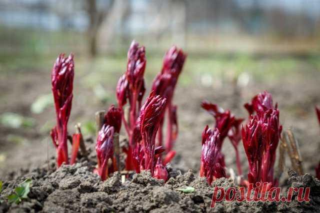 Чем подкормить пионы во время цветения, а также до и после него | Пионы (Огород.ru)