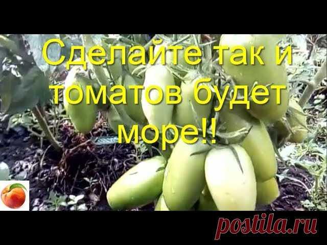томаты, попробуйте так вырастить рассаду томатов-  результат порадует!