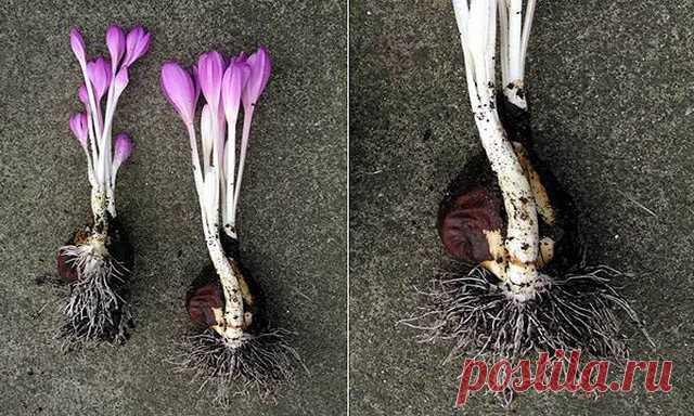 Безвременник - фото цветка, сорта, посадка и уход за ними