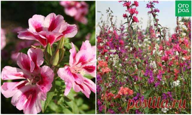 11 однолетних цветов для вашего сада, которые не боятся заморозков | Летники (Огород.ru)