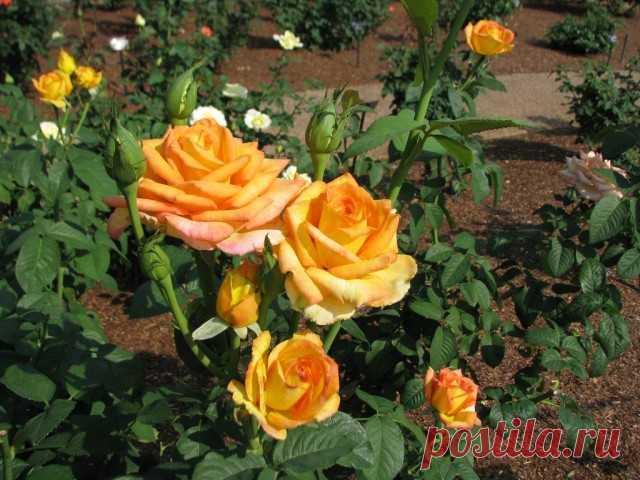 "Чайно-гибридная роза, сорт ""Gold Medal""."