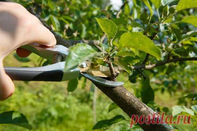 Летняя обрезка плодовых — нужна или нет? Что резать и как? Фото — Ботаничка.ru
