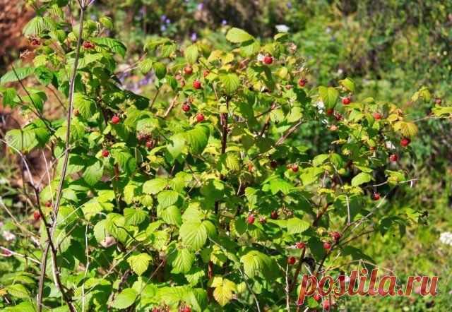 Как правильно пересадить взрослый куст на другое место | Уход за садом (Огород.ru)