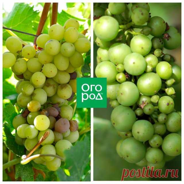 Уход за виноградом в июле – 3 самые важные процедуры | Виноград (Огород.ru)