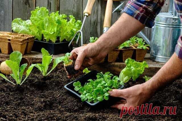 чешуя лука для рассады томатов
