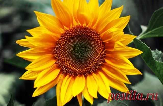 20 растений с большими цветками – яркие акценты для вашего сада   Цветники и клумбы (Огород.ru)