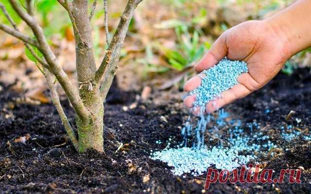 Как заставить грушу быстрее плодоносить / Домоседы