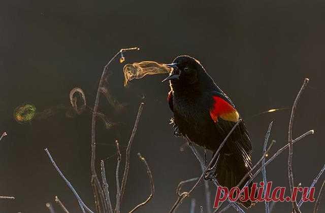 Этот удивительный снимок черного дрозда сделала фотограф-любитель Кэтрин Свобода. Что выделяет фото из многих других — это то, что зритель в буквальном смысле может видеть песню птицы. Заснять ее Кэтрин удалось в парке Хантли-Медоуз в Александрии, штат Вирджиния (США). В тот день стояла холодная погода, утренний свет солнца освещал самца дрозда. И фотоаппарат зафиксировал, как из клюва птицы во время пения появляются маленькие кольца пара
