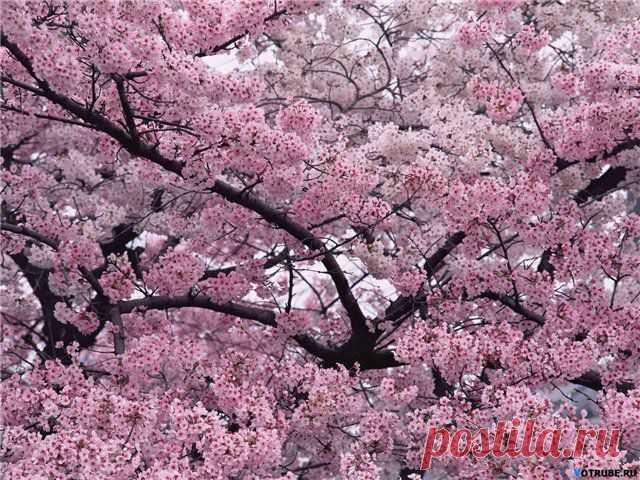 Цветущие  деревья...