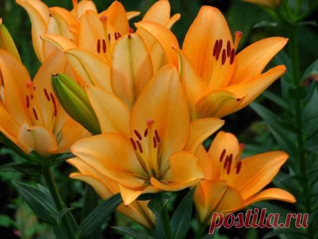 Какие цветы посадить и посеять в августе? | Прочие многолетники (Огород.ru)