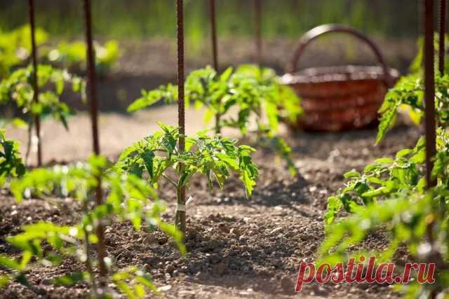 Почему мало завязи на томатах? Ошибки выращивания. Фото — Ботаничка.ru