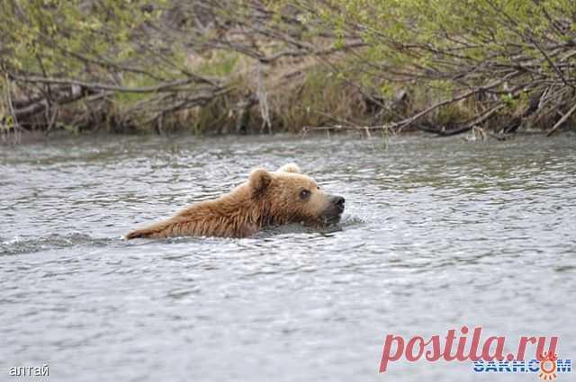 Медведь  переплывает  речку...