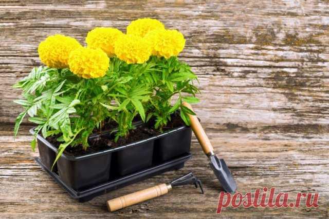 вырастить рассаду бархатцев в домашних