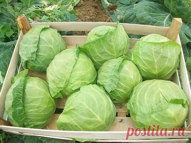 SECRETS OF HEALTHY CABBAGE\u000a\u000aIn holes it is recommended to fill up humus and to add 1 tablespoon of an egg shell, 1 tablespoon of ashes and 1 teaspoon of superphosphate and 1 teaspoon of powder of mustard. It is necessary in order that the larvae harming roots were not got. It is good to mix and water everything with hot water with potassium permanganate. When holes cool down, to land in advance watered seedling. To mulch humus, to water every day 3-4 days in a row, and then to make watering through 3-4 d...