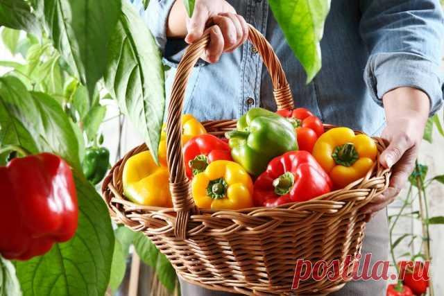 Какие сладкие перцы самые полезные, и что о плодах расскажет их цвет? Особенности выращивани и употребления. Фото - Ботаничка.ru