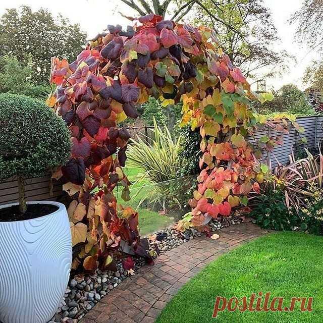 Виноград Куанье особенно декоративен в осенний период