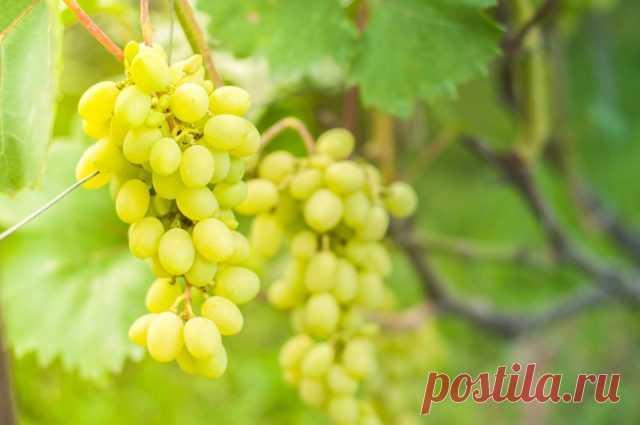 Схема подкормок винограда от саженца до урожая — Ботаничка.ru
