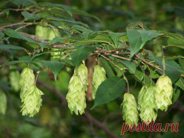 Sign Hornbeam: the description and the characteristic on a horoscope of druids