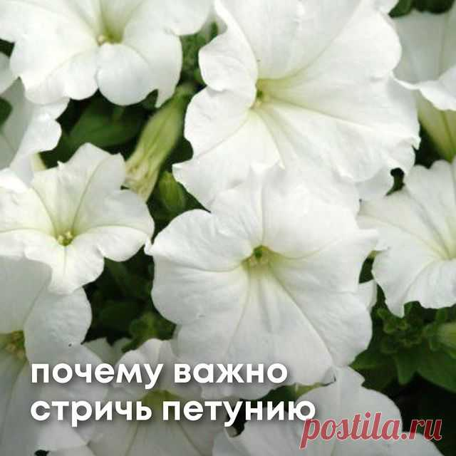 https://7semyan.ru  ⠀ Друзья, здравствуйте! С вами Борис Борисов и канал СЕМЬ СЕМЯН. Сегодня в ролике речь пойдет о петуниях. Я расскажу почему важно стричь петунию и покажу как правильно это делать. Чтобы получить роскошное цветение, нужно смелой рукой постричь петунию, только сделать это нужно грамотно. Также в ролике я расскажу что делать с петунией уже после того, как Вы ее обрезали. Надеюсь, что мой ролик будет Вам интересен и полезен. ⠀ 💥WhatsApp-чат поддержки клиен...