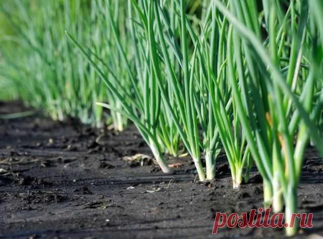 Ранняя зелень на продажу – учимся выращивать   Зеленные и пряные (Огород.ru)
