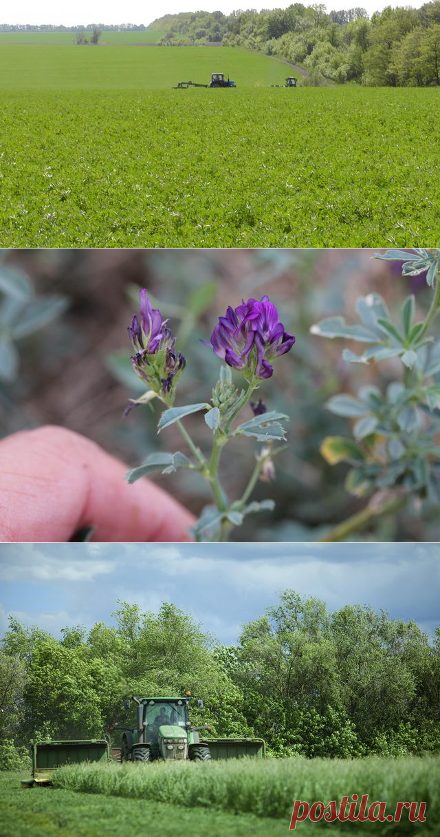 Выращивание люцерны на корм - БиоКорова