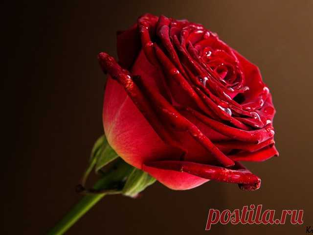 La rosa maravillosa... rosoyu es lavada,\u000aLa flor celeste, creada por alguien,\u000aLa gotita de la humedad... En las hojuelas es derrubiada,\u000aComo si en el sol del néctar de las gargantas.