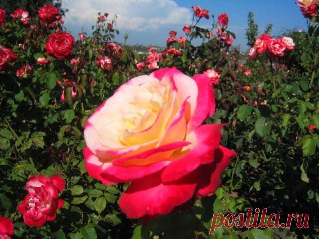 "Чайно-гибридная роза, сорт ""Double Delight"""