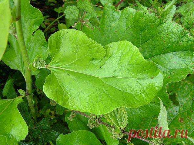 Гобо – овощной лопух — Огород без хлопот