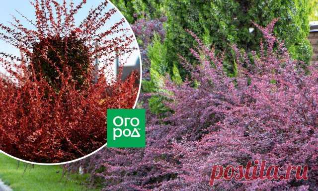 Быстрорастущая живая изгородь – выбираем правильные растения   Живые изгороди (Огород.ru)