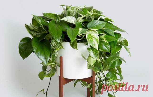 10 лучших быстрорастущих комнатных растений. Список с фото - Ботаничка.ru