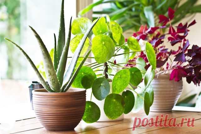 Убийцы с подоконника. Чем могут быть опасны комнатные цветы? Любители домашних растений даже не догадываются, какая опасность может таиться в цветочных горшках. Невидимые глазу микроорганизмы способны проникнуть в мозг и вызвать смерть.