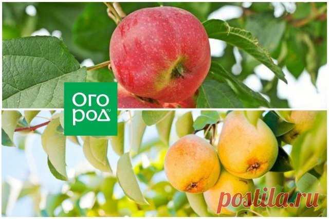 Чем подкормить плодовые деревья в августе | Уход за садом (Огород.ru)