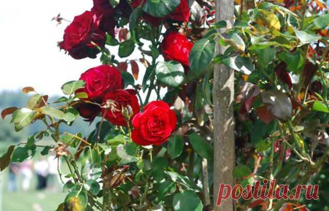 Как прививать розы к шиповнику!  Одним из самых распространенных способов размножения роз является окулировка. Это прививка глазком (сформированной почкой) культурной розы на шиповник. Выбор шиповника в виде подвоя ускоряет рост побегов розы и повышает общую морозостойкость растения. Операция эта не так сложна, как кажется, но результат будет виден только на следующий год, когда почка тронется в рост.  Вам понадобится - здоровые молодые саженцы шиповника; - черенки для при...