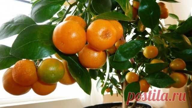 Домашний мандарин из косточки Домашний мандарин из косточки: от А до Я Большинство наших детей, а... Читай дальше на сайте. Жми подробнее ➡