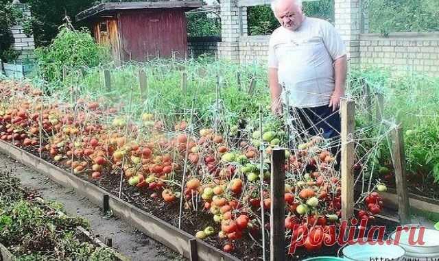 Дедовский рецепт для выращивания томатов — Копилочка полезных советов