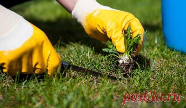 Как избавиться от сорняков на газоне – самые эффективные методы борьбы   Газон (Огород.ru)