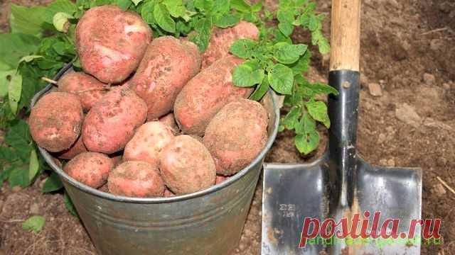 Когда копать картофель на хранение в августе и осенью 2021 года по лунному календарю