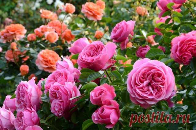 Розы — как выбрать свою? Фото — Ботаничка.ru