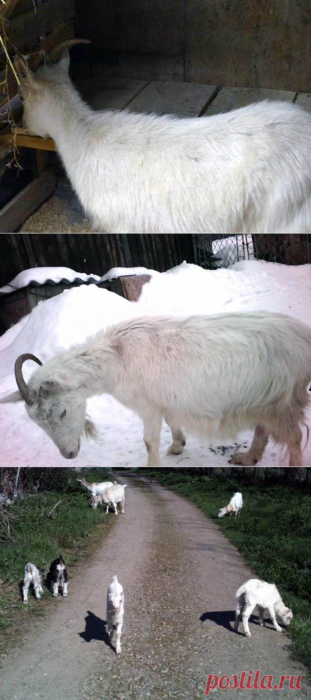 Русская бела коза – порода местных коз с фото и описанием